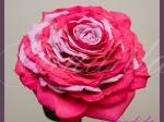 Wiązanka ślubna, kameliowa z róży, rozamelia